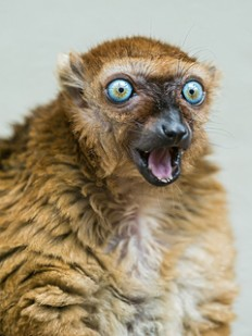 Female Sclaters lemur with open mouth II | Flickr - Photo Sharing!