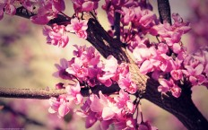Vintage Pink Blossom - Photography Wallpapers