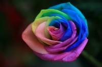 Blog Medioambiente.org: Rosa arcoíris
