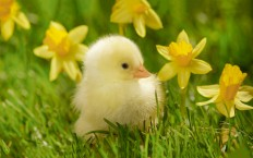 Cute Chick - Photography Wallpapers