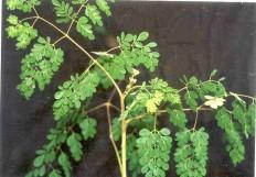 Inilah Manfaat daun kelor untuk kesehatan