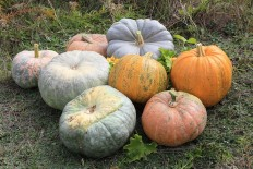 Cucurbita 2011 G1 - Commons:Featured pictures/Food and drink - Wikimedia Commons
