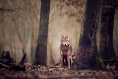 Wolf by René Unger / 500px