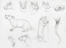 rat_anatomy_practice_by_triksilverwolf-d4xju3l.jpg (900×654)