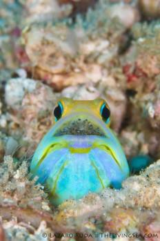 Animal Journal - packlight-travelfar: Yellowhead jawfish eggs by...