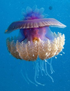 Animal Journal - theoceaniswonderful: Cauliflour Jellyfish,...