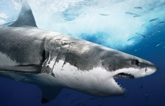 animal-wallpapers-great-white-shark-wallpaper-wallpaper-37365.jpg (1600×1028)