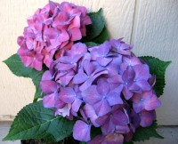 flowers i love / Purple-Hydrangea-flowers-724956_1024_831.jpg 1,024×831 pixels