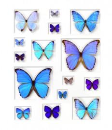 24×30 Cerulean Butterflies | Pheromone Wholesale