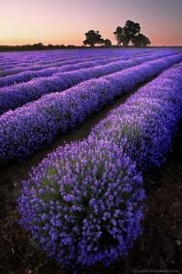 Favorite Places & Spaces / Lavender