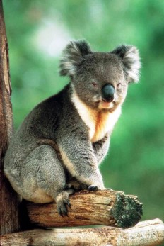 Earth song — koala-australia