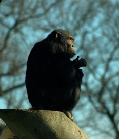 A Working Hypothesis...., Chimpanzee pics taken in Dublin Zoo yesterday! ...