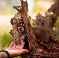 raccoon by jasminka j - Pixdaus