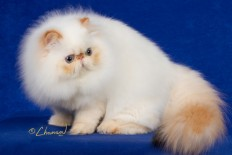 Persian Cat Wallpaper in Animals PicsPaper.com