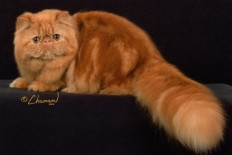 Red Persian Cat Wallpaper in Animals PicsPaper.com