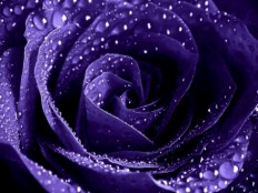 Enchantment Purple Rose With Water Droplets Wallpaper (4608x3456) - Desktop Background