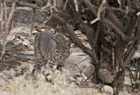 Bobcat | Flickr - Photo Sharing!