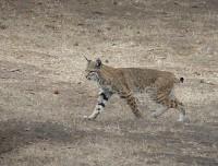 Bobcat - Lynx rufus | Flickr - Photo Sharing!