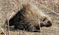 Porcupine | Flickr - Photo Sharing!