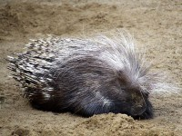 Porcupine @ Africa Alive, Suffolk | Flickr - Photo Sharing!