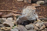 Porcupine eating | Flickr - Photo Sharing!