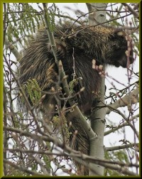porcupine a | Flickr - Photo Sharing!