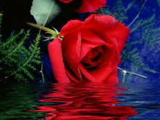 30 Romantic Rose Pictures | HeartsFile