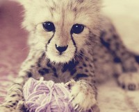animal, baby, cheetah, cute, cutie - inspiring picture