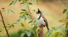 Red-whiskered bulbul - Photography Wallpapers