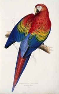 Google Image Result for http://4.bp.blogspot.com/-5C1XfTd43TY/Teh8MsZrNbI/AAAAAAAAHPk/nuyfQ5sGSzM/s1600/Ara_macao_-painting_by_Edward_Lear.jpg
