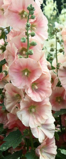 Hollyhocks prefer full sun,. They can tolerate partial shade as long as they get at least 6 hours of sun daily (the flowers may be smaller and the … | Pinterest