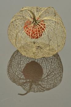 Chinese Lantern seed pod macro's | Gardening | Pinterest
