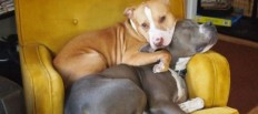 Pit Bull Softies - Surprise Feed