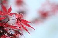 Japanese Maple 1 by ~LadyAshleyStock