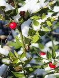 Berries in the snow 10 by *MontvalentStock