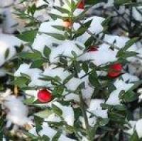 Berries in the snow 11 by *MontvalentStock