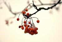 Rowan Berries | Flickr - Photo Sharing!