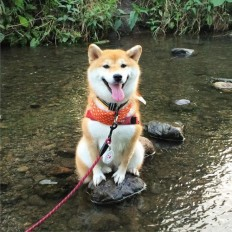 11 Shibas Who Got Stuck In Things But Didn't Care At All