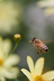 Honey bee (Apis mellifera) via Flickr | Bees. | Pinterest