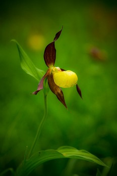 Ninbra (Lady's Slipper.)