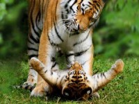 Saints, Warriors, Tigers, Lovers, Flowers, Art - mariawest: Big Cat Cub Photos — National...