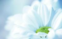 Fresh White Flower Wallpapers - 1280x800 - 147726