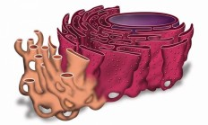Endoplazmik Retikulum Nedir? - 1 Milyar Bilgi