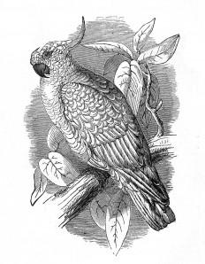 cockatoo-graphicsfairy009b.jpg (1244×1600)