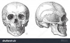 stock-vector-human-skull-vintage-illustration-from-meyers-konversations-lexikon-96036035.jpg (1500×919)
