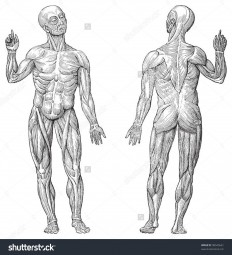 stock-vector-human-muscle-anatomy-vintage-illustrations-from-die-frau-als-hausarztin-98545661.jpg (1458×1600)