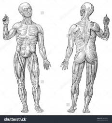 stock-vector-human-muscle-anatomy-vintage-illustrations-from-die-frau-als-hausarztin-98545661.jpg (1458×1600)