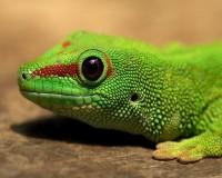 Green Lizard Face Wallpaper | Animals Desktops and Stock Photos