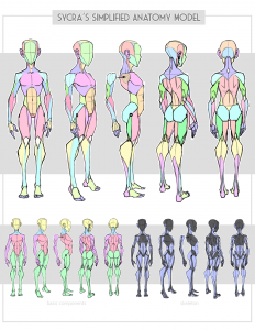 Sycra's Simplified Anatomy Model by Sycra on DeviantArt