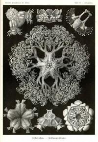 + Lovely pattern + / Ophiodea by Ernst Haeckel; Kunstformen der Natur, 1900